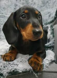 Pedigree Papered Mini Dachshund puppy