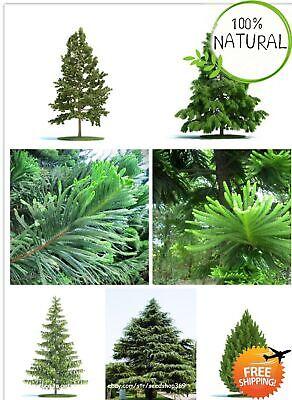 Moreton Bay Pine Seeds Plants Tree Grow Araucaria Cunninghamii Rare Easy 50pcs Grow Pine Tree