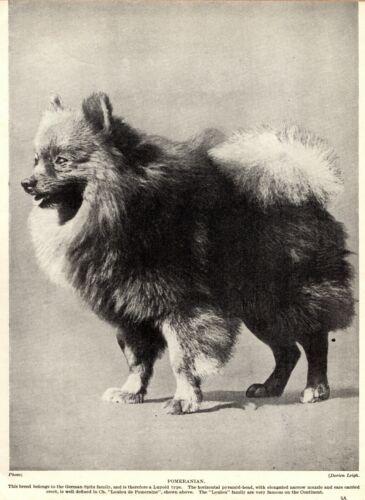 1930s Antique Pomeranian Dog Print Champion Loulou de Pomeraine Photo 3424Y
