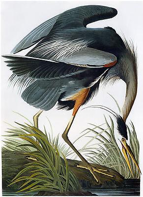 Audubon Print Reproductions: Great Blue Heron - Fine Art Print