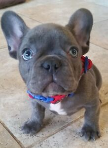 French bulldog free to good home | Dogs & Puppies | Gumtree