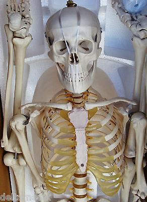 Medical Anatomical Human Skeleton Model Professional Size 67 170 Cms It-001