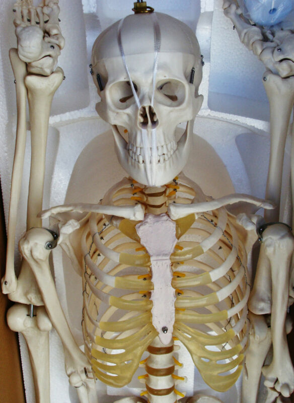 Medical Anatomical Human Skeleton Model Professional Size 67