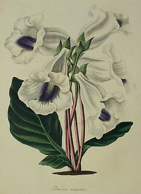 GLOXINIE - Gloxinia maxima - Paxton - kolorierte Aquatinta 1834