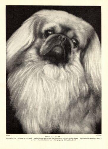 1930s Antique PEKINGESE Dog Print Vintage Pekingese Photo Print 3958c