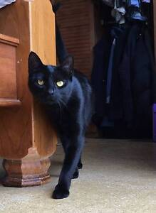 Free Beautiful Black Female cat to good home Inverell Inverell Area Preview