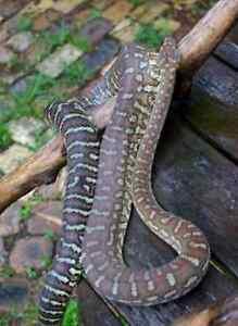 Male Bredli, includes enclosure. Placid python snake. Brisbane Region Preview