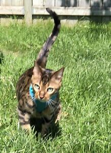6 year old male F4 Bengal cat