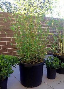 400mm BAMBOO Plants - Clumping & Spreading - Variety of sizes Turramurra Ku-ring-gai Area Preview
