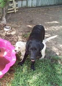 labrador pups purebred registered Medowie Port Stephens Area Preview