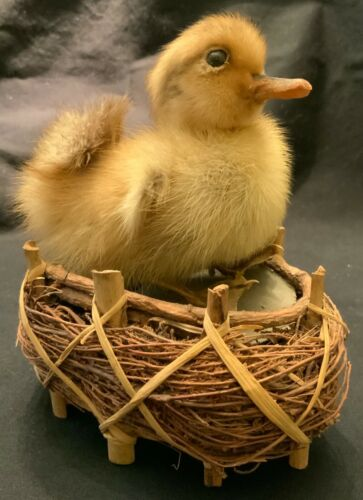 VINTAGE EASTER TAXIDERMY DUCKLING ON NEST!