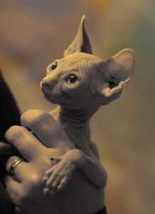 Sphynx kitten rise  passion and quality together