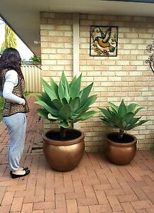 X2 low maintenance agave's in COPPER concrete pots RRP $700 Balcatta Stirling Area Preview