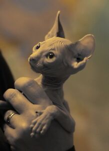 Wonderful sphynx rising with love and passion together