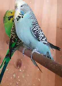 Breeding english budgies Marsden Logan Area Preview