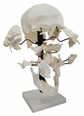 Beauchene Skull Model - 22 Parts Mounted On Stand - Natural Size - Eisco Labs