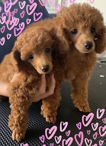 Red Toy Poodle 1 GIRL LEFT! Ready Now!!