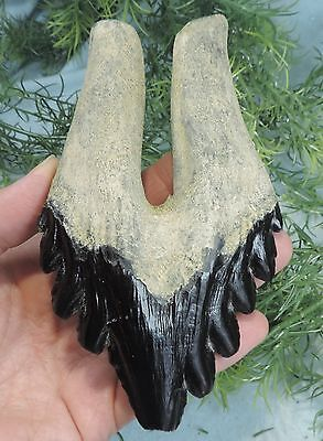 HUGE 5 1/2'' ARCHAEOCETE WHALE TOOTH REPLICA, IMPRESSIVE!!/ FOSSIL MAMMAL