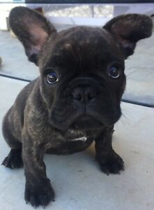 French bulldog male pup