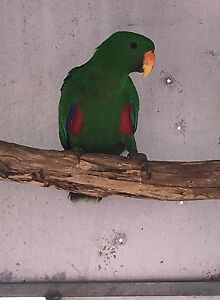 Bonded Pair Of ECLECTUS North Tivoli Ipswich City Preview