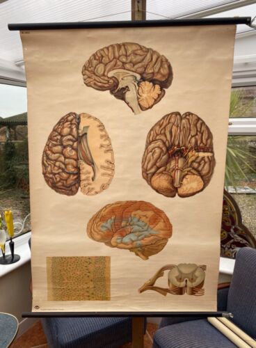 VINTAGE ANATOMICAL SCHOOL PULL DOWN CHART OF THE HUMAN BRAIN  PAPER ON CANVAS