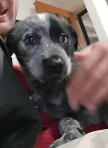 Blue Heeler / Kelpie Puppies