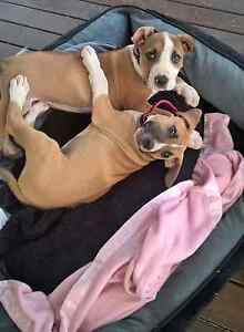 2 female English bull terrier x wolfhound Glenwood Fraser Coast Preview