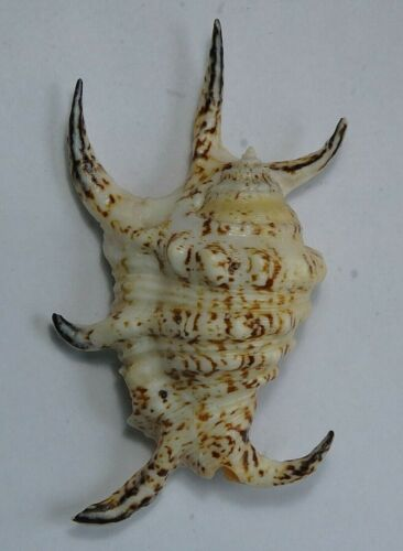 Lambis chiragra 114.1mm F+++ small size selected marine mollusk ,Philippines