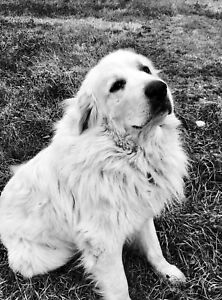 Reward offered** Missing.  Great Pyrenees.hwy 17 north 7 miles