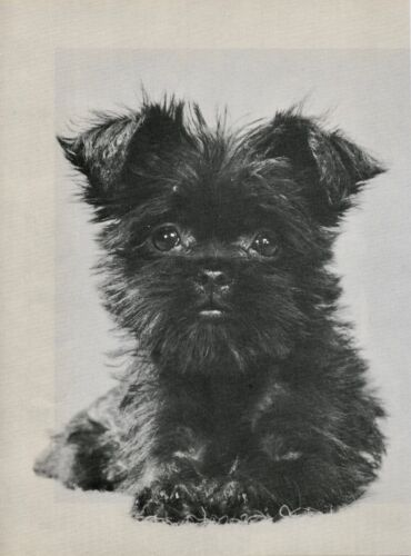 AFFENPINSCHER PUPPY Vintage 50 year-old Full Page Photo Print