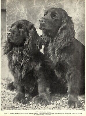 1930s Antique SUSSEX SPANIEL Dog Print Hawkhurst Earlswood Brian 4163aa