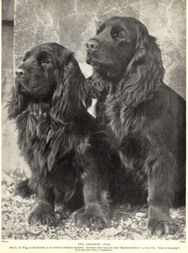 1930s Antique SUSSEX SPANIEL Dog Print Hawkhurst  Earlswood Brian 3293-W