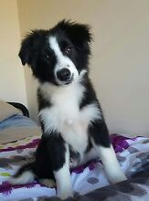 Pedigree Border Collie Girl Cape Cleveland Townsville Surrounds Preview