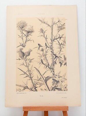 """Farb-Lithographie Plate 184 Distel 1886 """"Die Pflanze in Kunst und Gewerbe"""""""