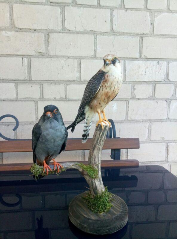 Taxidermy Set Of 2 Fa.lcons Vesper.tinus Real Bird Stuffed Home