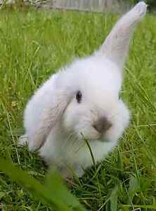 2 mini lop with the cage Meadow Heights Hume Area Preview