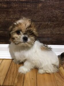 Shih Tzu Puppies Ready to Go