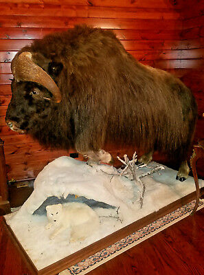 HUGE MUSK OX Life size Taxidermy Mount Wildlife with FOX! MAKE AN OFFER