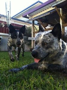 Australian Stumpy Tail Cattle Dog Puppies Pelican Lake Macquarie Area Preview