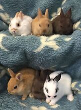 Netherland dwarf rabbits- babies Bayswater Knox Area Preview