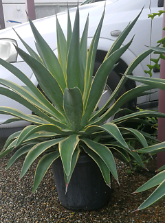 Agave Plant Capalaba West Brisbane South East Preview