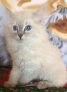TIca registered ragdoll kitten. Just became available for Xmas