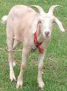 Trevor the goat has found  a new home Molendinar Gold Coast City Preview
