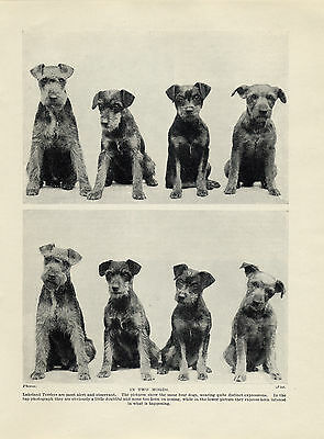 Charming Dog Print (LAKELAND TERRIER DOG GROUP CHARMING OLD ORIGINAL DOG PRINT FROM 1934 )