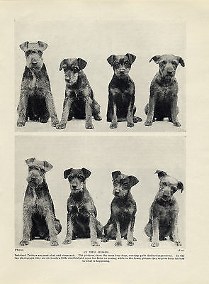 LAKELAND TERRIER DOG GROUP CHARMING OLD ORIGINAL DOG PRINT FROM 1934