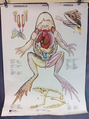 VINTAGE SCHOOL BIOLOGY POSTER, THE FROG, 1960s/70s, FREE UK DELIVERY