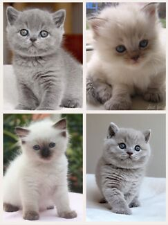 Wanted: Wanted ragdoll or British shorthair kitten