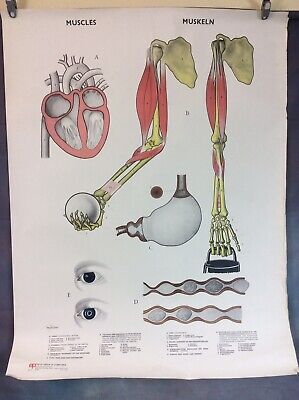 VINTAGE SCHOOL BIOLOGY POSTER HUMAN MUSCLES, 1960s/70s FREE UK DELIVERY