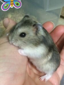 Winter White dwarf hamsters for sale $15 each