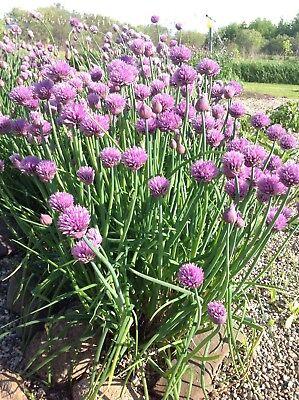 Heirloom Garden & Garlic Chives Seeds 250 Ea. 500 Seeds Total Perennial Herb '19